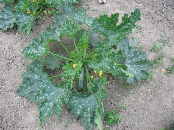 O dium sur courgettes au jardin forum de jardinage - Feuilles de rosier qui jaunissent ...